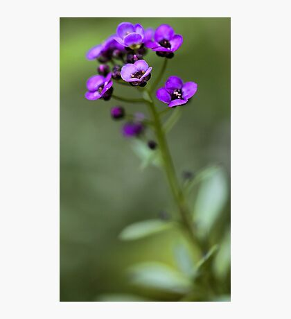 Sweet Alyssum Photographic Print