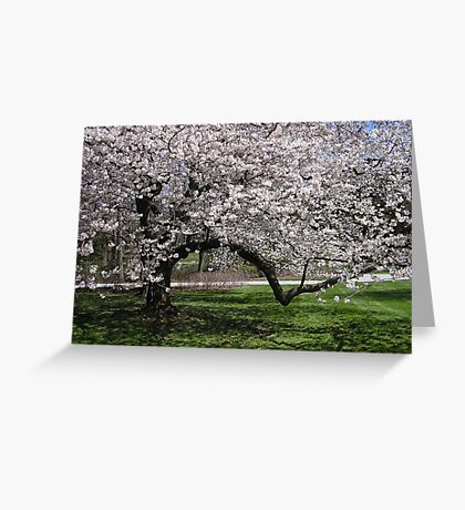 Cherry Tree in Flower Greeting Card