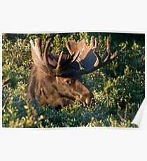 Grazing Moose Poster