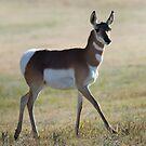Antilope von OLena  Art ❣️