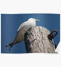 With Crossed Tail Feathers Poster