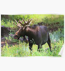 Albion Basin Moose Poster