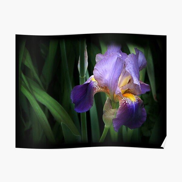 Shaded Iris Poster
