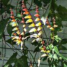 Candy Corn Flowers -  Ipomoea lobar – Spanish Flag vine by Jane Neill-Hancock