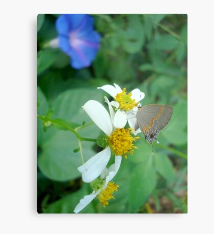 Banded Hairstreak in Spanish Needles Metal Print