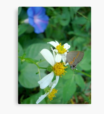Banded Hairstreak in Spanish Needles Canvas Print