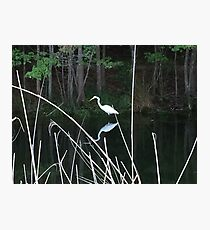 Crane in the wetlands Photographic Print