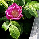 Lone Beach Rose by Barry Doherty