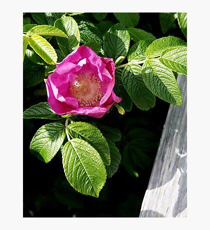 Lone Beach Rose Photographic Print