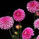 Dahlias from Marcie's garden by David Chesluk