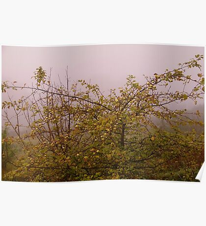 Foggy morning apple tree Poster
