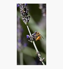 Bee in English Lavender Photographic Print