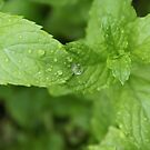 Refreshing!  Spearmint in my yard, La Mirada, CA USA by leih2008