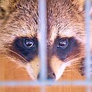 Rocky Racoon Checked Into His Room by ©Dawne M. Dunton