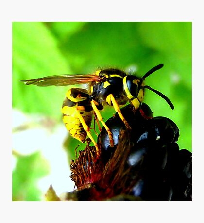 Blackberry with wasp Photographic Print