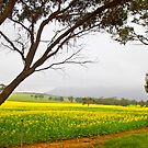 Canola and Stirlings in the fog by pennyswork