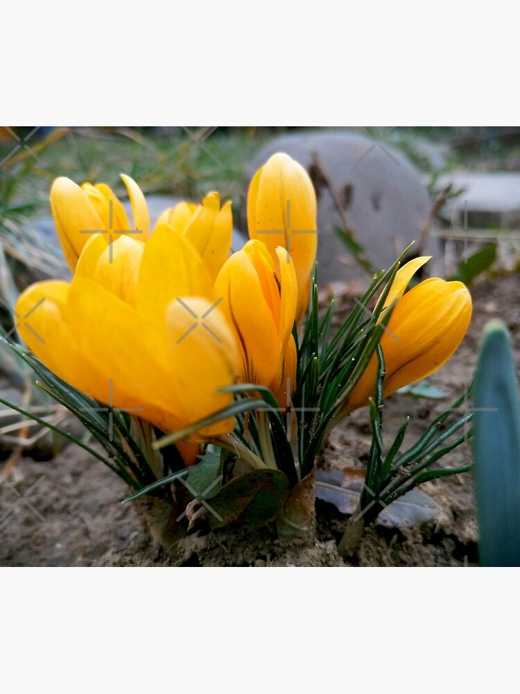 Delicate, yellow, spring flowers, seen from their level by CWartDesign