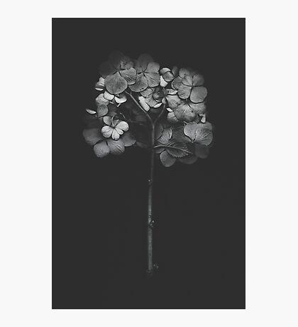Dark Hydrangea Photographic Print
