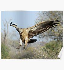 White-backed vulture landing Poster
