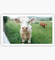 Irish Cows Sticker