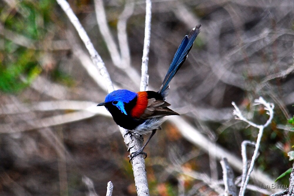 Variegated fairy-wren by Ian Berry