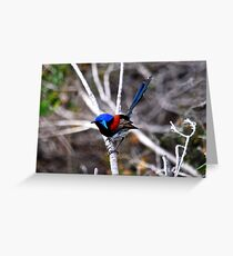 Variegated fairy-wren Greeting Card