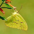 Bewölkter Schwefel-Schmetterling von Kathy Baccari