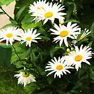 Coming Up Daisies by Lani Chipman