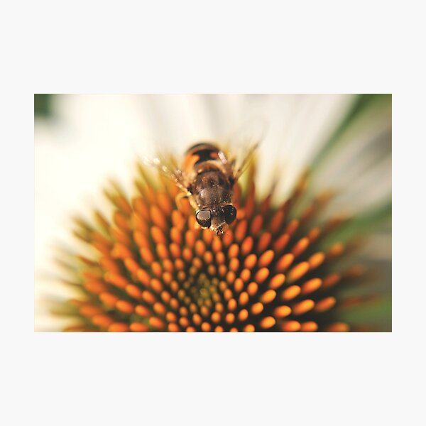 Hoverfly (Syrphidae) Photographic Print