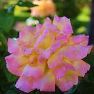 Merry Rose by Lani Chipman