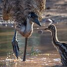Old Man Emu bathing chick by Janette Rodgers