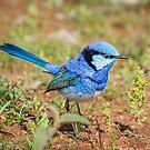 Australian Splendid Fairy-Wren by Janette Rodgers