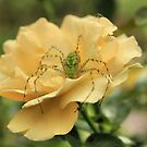 Spiders bed of roses by GWGantt