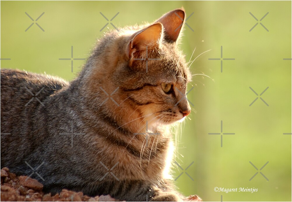 SUNRISE PROFILE CAPTURE - The African Wild Cat - Felis silvestris lybica by Magriet Meintjes