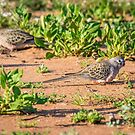 Bourke's Parrots by Janette Rodgers