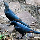 THE COUPLE -RED-WINGED STARLING - Onychognathus morio - ROOIVLERKSPREEU by Magriet Meintjes