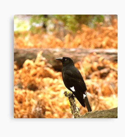 Pied Currawong Canvas Print