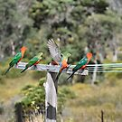 Australian King Parrots on Clothesline by Toradellin