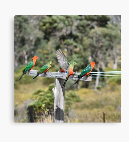 Australian King Parrots on Clothesline Canvas Print