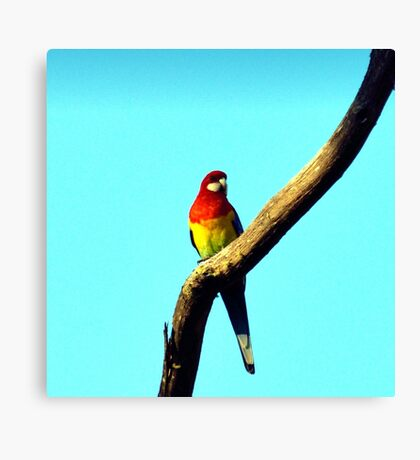 Eastern Rosella Canvas Print