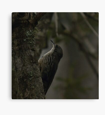 White-throated Treecreeper Canvas Print