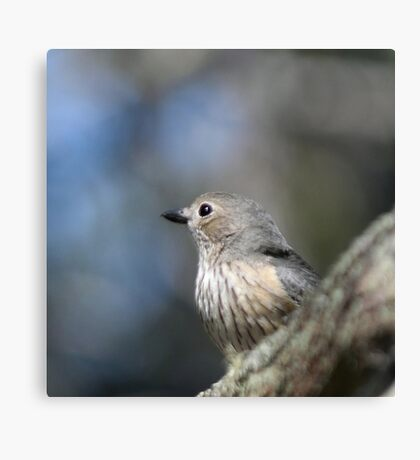 Female Rufous Whistler Canvas Print