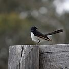 Willy Wagtail by Toradellin