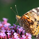 Painted Lady by cuprum