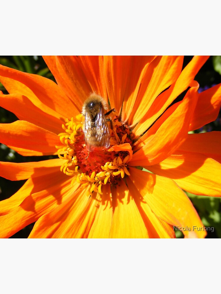 ORANGE DAHLIA BLOSSOM PETALS WITH BEE by nicolafurlong