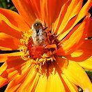 ORANGE DAHLIA BLOSSOM PETALS WITH BEE by Nicola Furlong