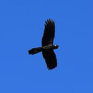 Yellow Tailed Black Cockatoo in Fligh by Toradellin