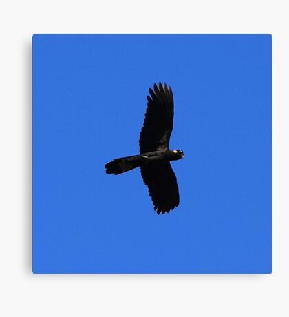 Yellow Tailed Black Cockatoo in Fligh Canvas Print