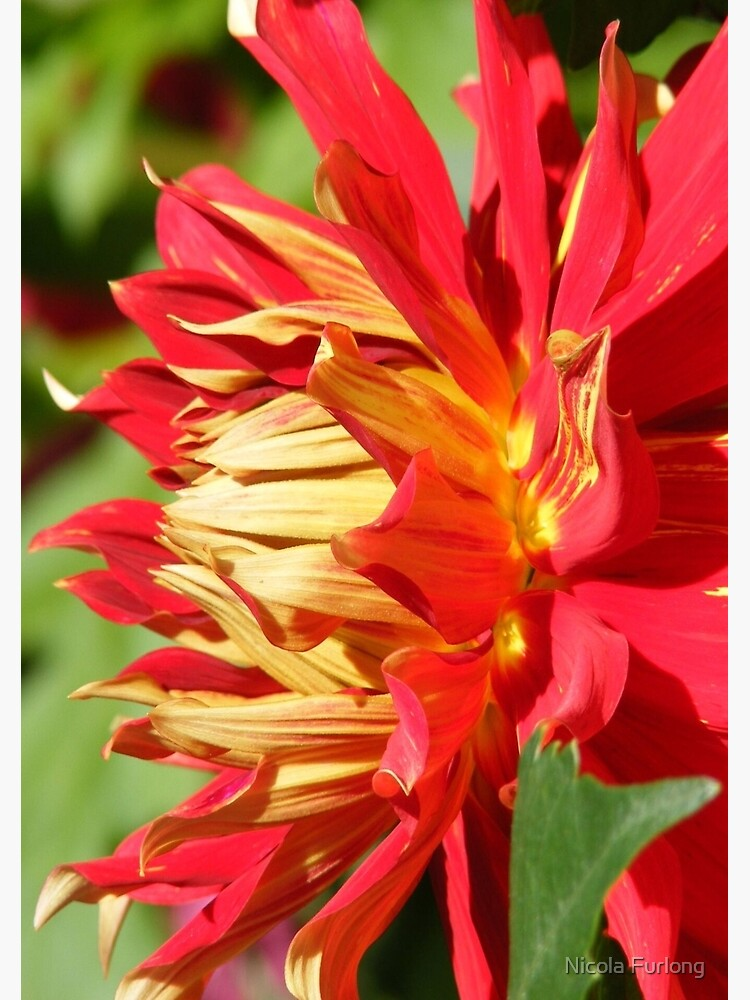 RED YELLOW DAHLIA FLOWER PETALS by nicolafurlong