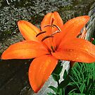 Orange Lily by Shulie1